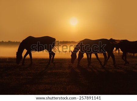 Herd of horses grazing in a field on a background of fog and sunrise. Silhouette of beautiful horse on a background of sunrise