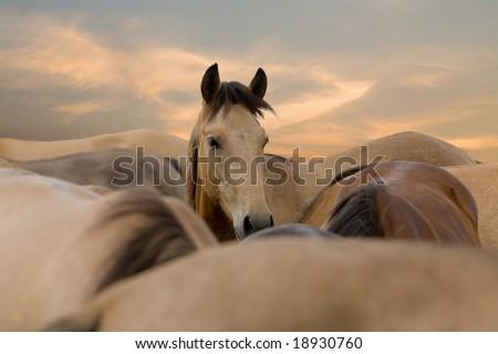 herd of horses in sunrise - stock photo
