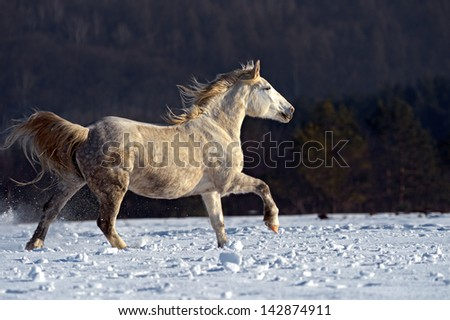 Herd of horses on the field in winter