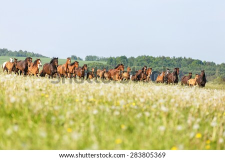Herd of horses running in summer pasture. - stock photo