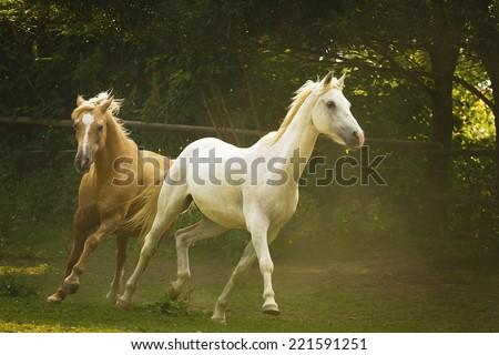 herd of horses running in wild appaloosa, arabian horse, western, thoroughbred, friesian horse,barock pinto - stock photo