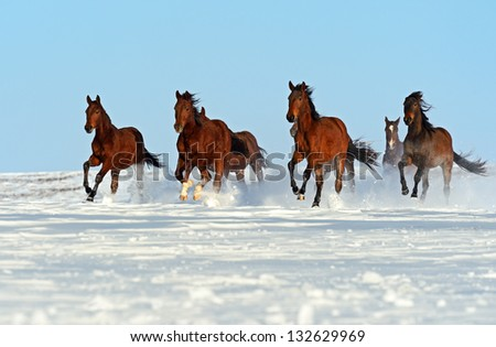 Herd of horses running through a snowy field gallop - stock photo