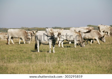 Herd of  hungarian grey steppe cattle grazing on meadow - stock photo