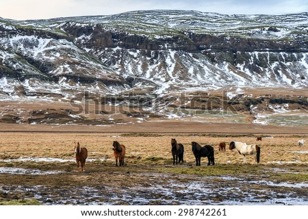 Herd of Icelandic horses in the winter landscape of Iceland - stock photo