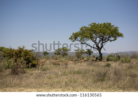 Herd of impala - stock photo