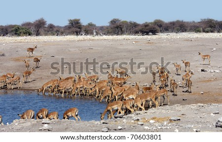 Herd of impala drinking - Etosha National Park - stock photo