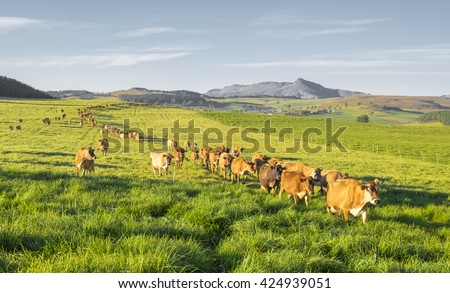 Herd of Jersey cows in the Natal Midlands, South Africa
