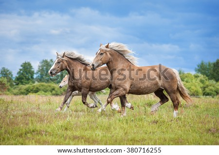 Herd of lithuanian heavy horses with a foal running on the pasture in summer - stock photo