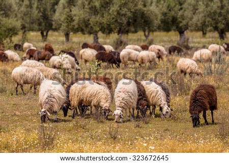 Herd of long haired black and white sheep grazing in dehesa like olive grove on Lesbos island, Greece - stock photo