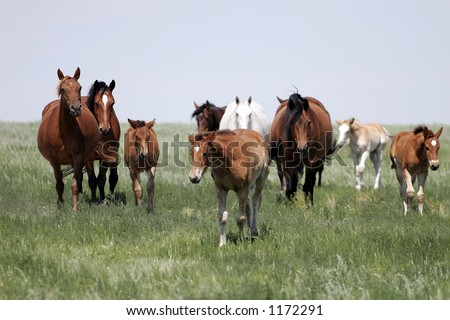Herd of Mother and Baby Horses in the American West (shallow focus). - stock photo