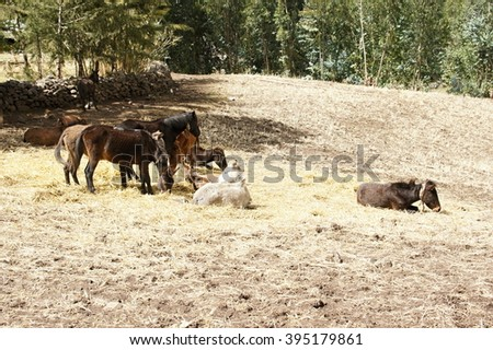 Herd of mules in Ambikwa camp, Simien mountains, Ethiopia - stock photo