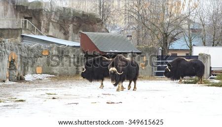 Herd of musk oxen in the paddock in winter. - stock photo