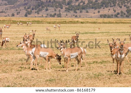 "Herd of North American Pronghorn ""Capri Americanus"" on cut alfalfa fieds"