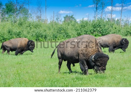 Herd of plains bison from Elk Island National Park in Alberta, Canada - stock photo
