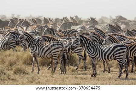 Herd of Plains Zebra in the Serengeti, Tanzania - stock photo