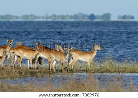 Herd of red lechwe antelopes (Kobus leche), Chobe National Park, Botswana - stock photo