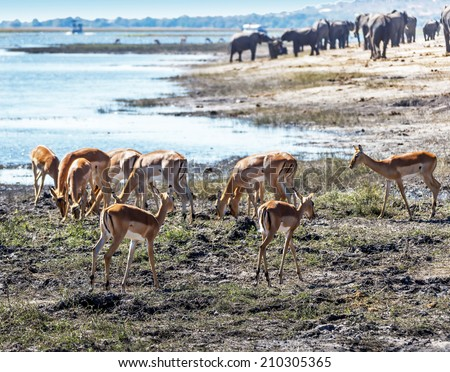 Herd of red lechwe antelopes (Kobus leche) in Chobe National Park - Botswana, South-West Africa - stock photo