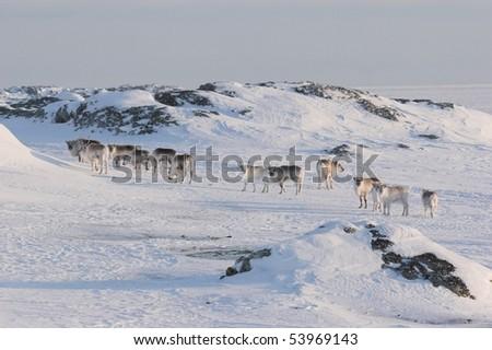 Herd of reindeers - stock photo