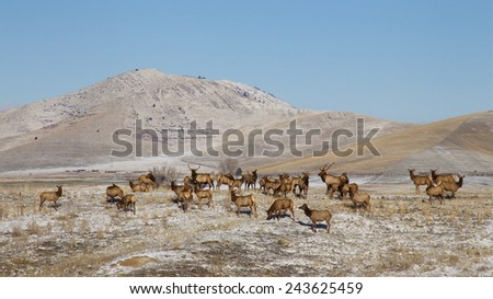 Herd of Rocky Mountain Elk, Cervus canadensis, in terrain of rolling hills in winter with snow, frost, and a clear blue sky background Montana big game environmental portrait - stock photo
