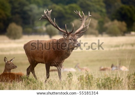 Herd of royal deer on autumn meadow - stock photo
