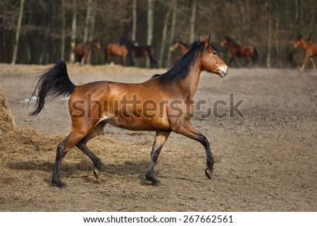 Herd of running horses on the  dirty meadow at spring time - stock photo