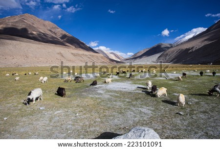 Herd of sheep against the background of distant colorful mountain, Rangdum, Zanskar valley, India