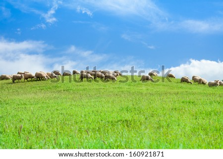 Herd of sheep eating grass in the green field over clean blue summer sky - stock photo