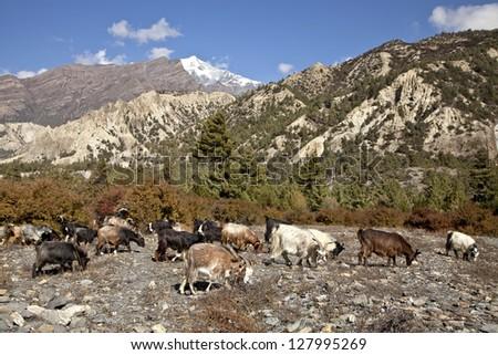 Herd of sheep grazing in Himalayan meadow, Nepal - stock photo