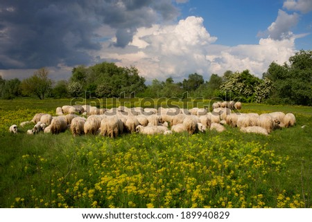 Herd of sheep, grazing on a meadow - stock photo