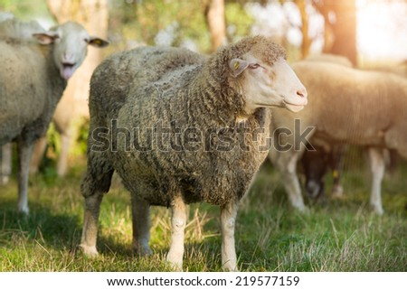 Herd of sheep grazing on grassland on sunny day - stock photo