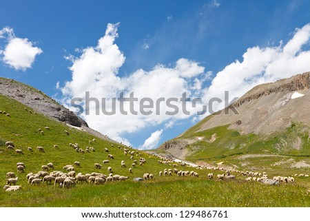 Herd of Sheep Grazing on Mountain Meadow in the Rocky Mountains - stock photo