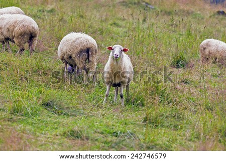 herd of sheep grazing on mountain meadow,  stylized and filtered to resemble an oil painting