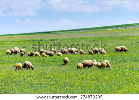 Herd of Sheep in flower Field  - stock photo