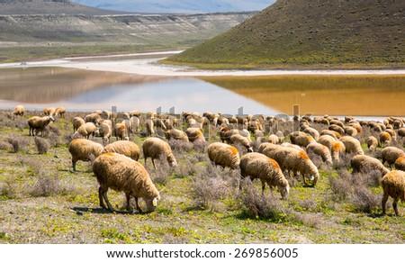 Herd of Sheep in Meke Crater lake - stock photo