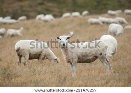 Herd of sheep in New Zealand - stock photo