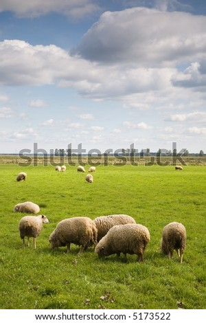 Herd of sheep in the field under blue cloudy sky