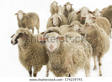 Herd of sheep isolated on white background - stock photo