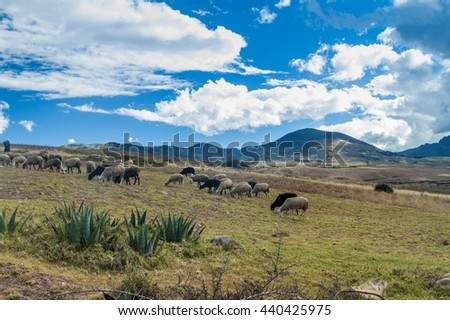 Herd of sheep near Maras village, Peru - stock photo