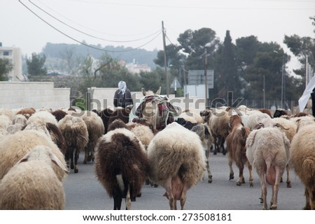 Herd of sheep on a road in Bethlehem, Israel in the Middle East, CIRCA February 2015 - stock photo