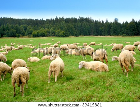 Herd of sheep on green meadow - stock photo
