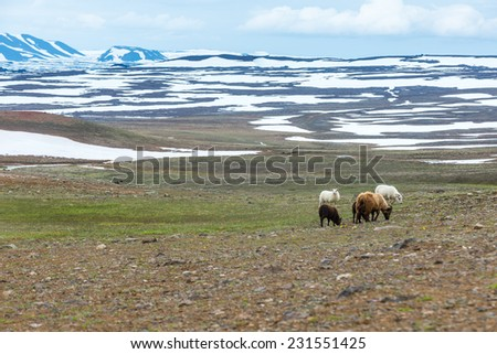 Herd of sheep on Icelandic Highlands near Krafla volcano. - stock photo
