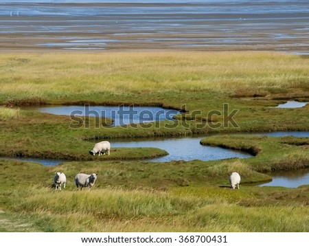 Herd of sheep on pastures on Mando island flooded with sea water - stock photo