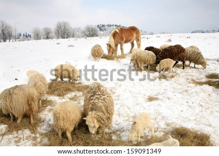Herd of sheep skudde and horse haflinger eat the hay meadow covered with snow. Winter on the farm. - stock photo