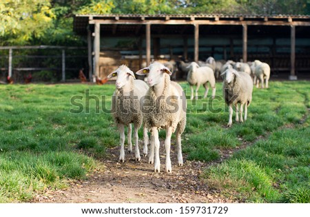 Herd of sheep stand on grass on farm land