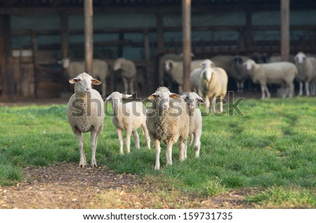 Herd of sheep stand on grass on farm land - stock photo