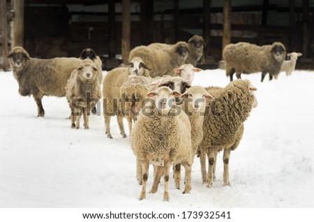 Herd of sheep walking on farm on snow - stock photo