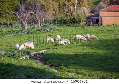 Herd of sheeps grazing on field with green grass