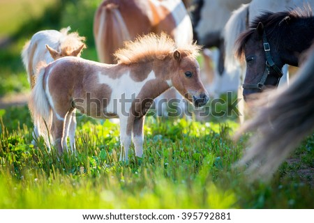 Herd of small cute horses in pasture - stock photo