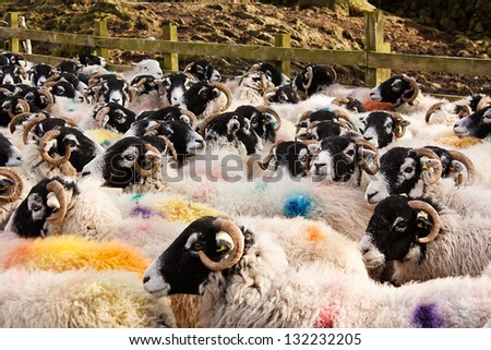 Herd of Swaledale sheep a common domestic farm animal all stock marked for identification before going to market or auction - stock photo