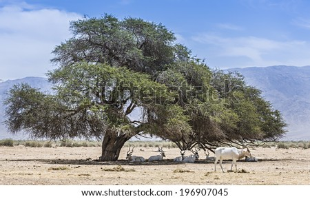 Herd of the curved horned antelope Addax (Addax nasomaculatus) is resting under  acacia tree in desert of the Negev, Israel